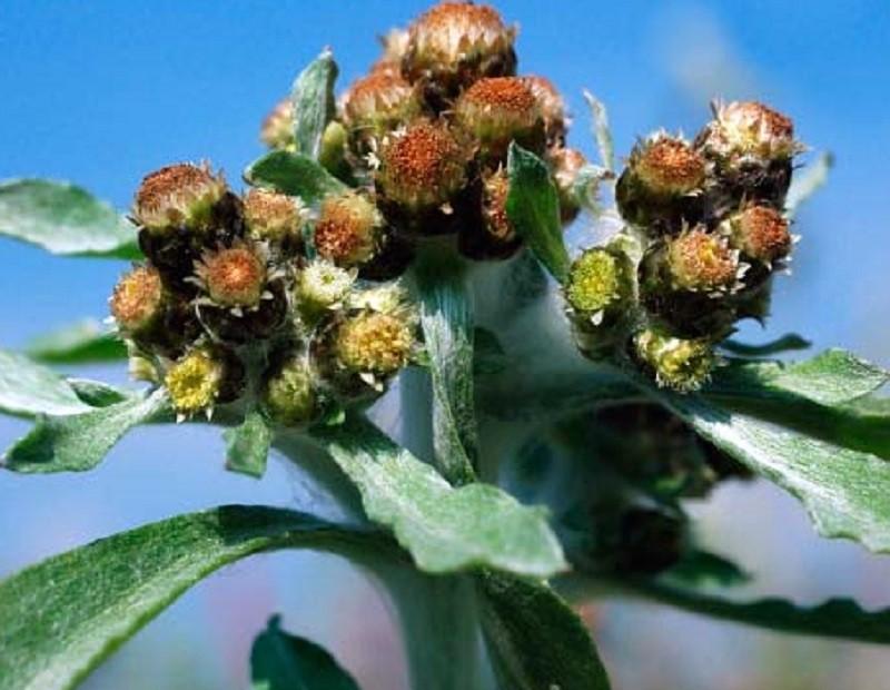 растение сушеница