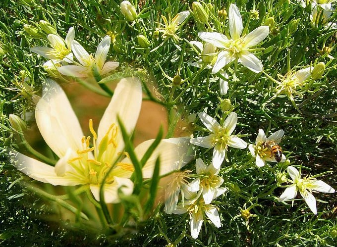 цветок гармала