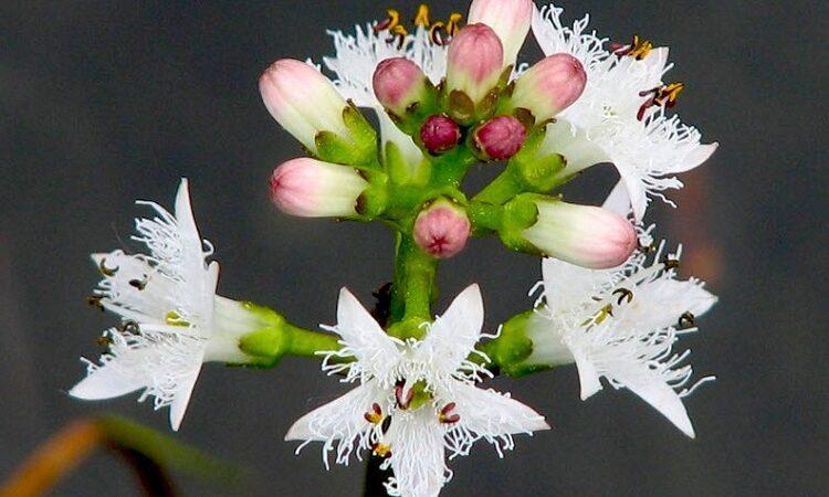 как цветет вахта