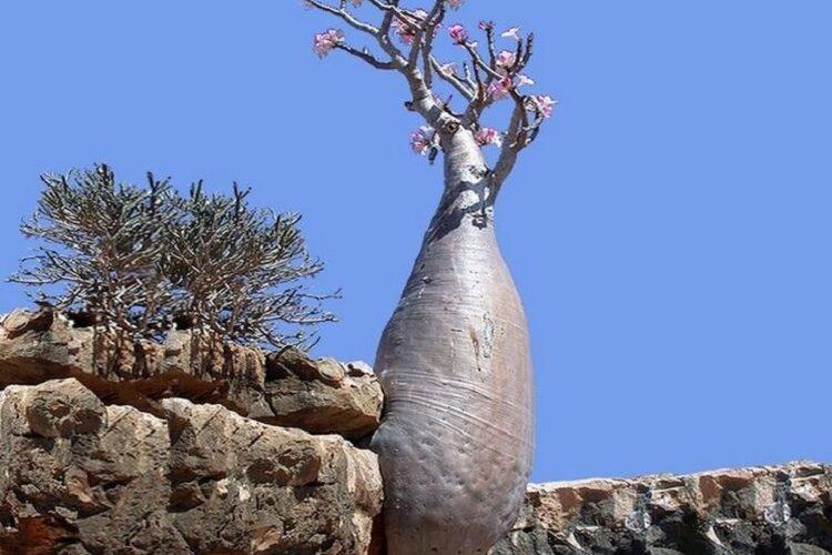 адениум на камнях