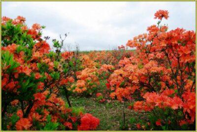 как цветет азалия