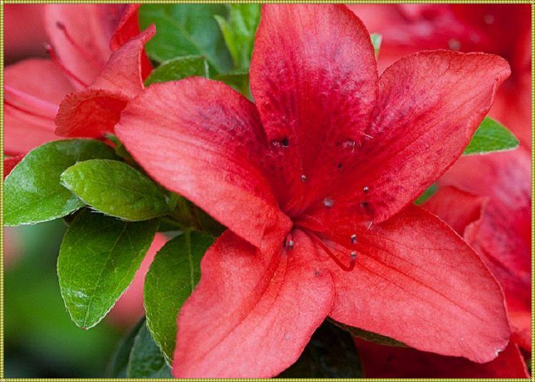 цветы азалии дома