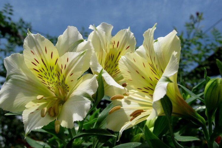 Альстромерия (60 фото) - виды, уход и выращивание