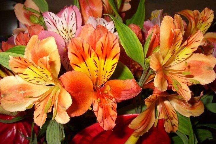 красивый цветок альстромерии