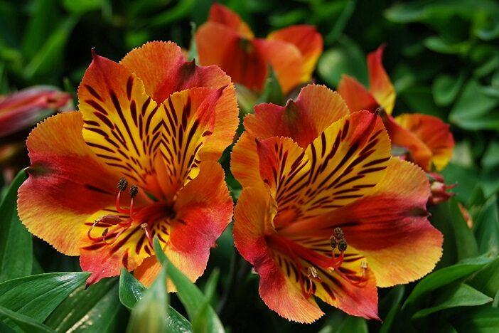 растение альстромерия
