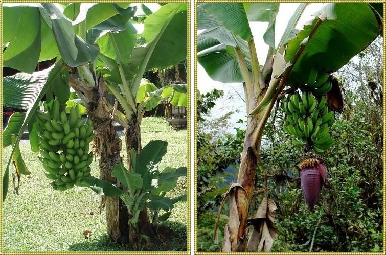 как выглядит дерево банан