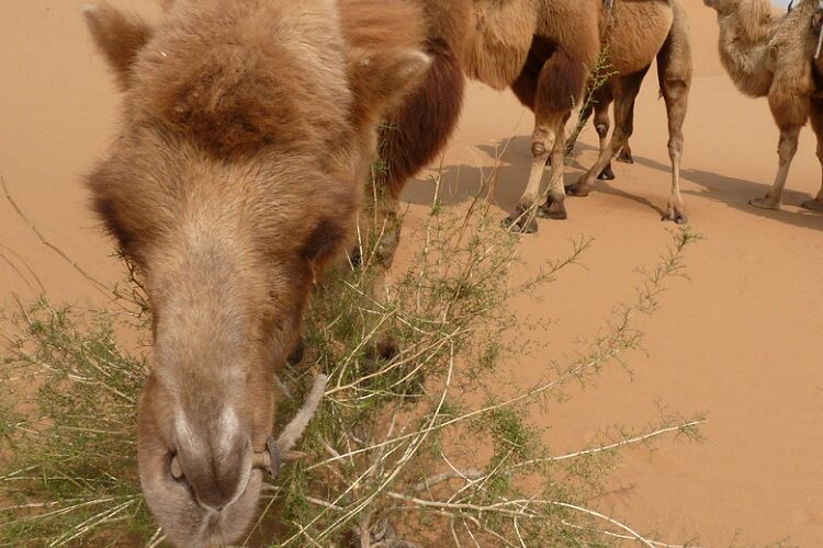 верблюд и колючка