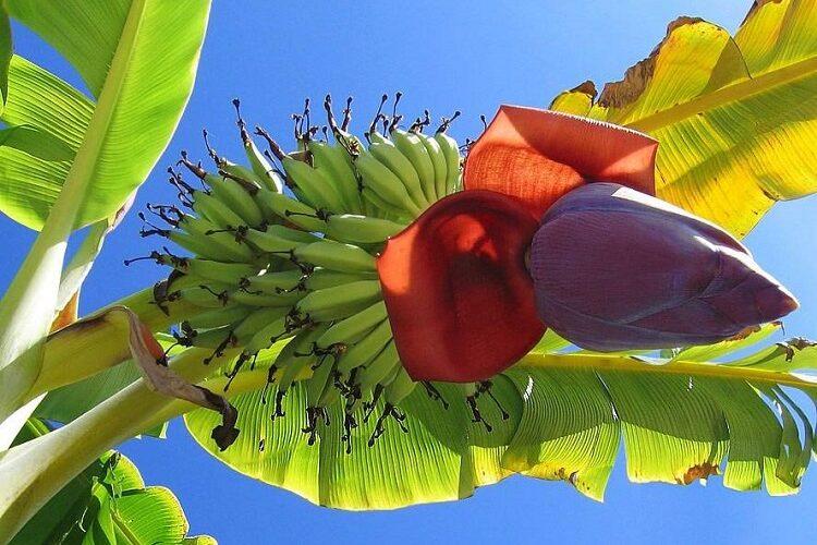 банановая ветка