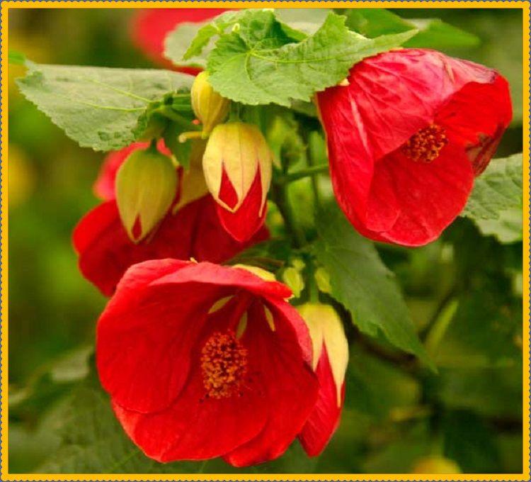 цветок абутилон