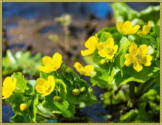 цветки калужницы