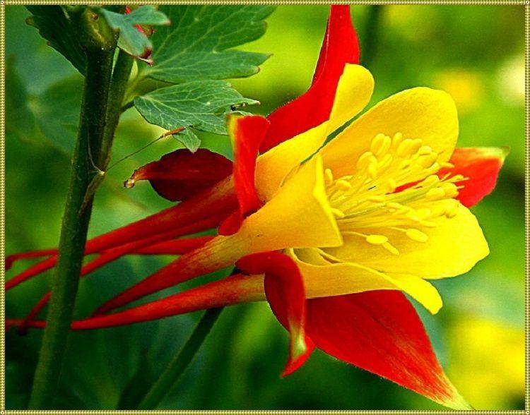 как цветет аквилегия
