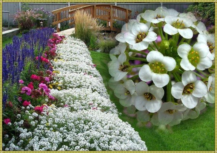 цветок алиссум на даче