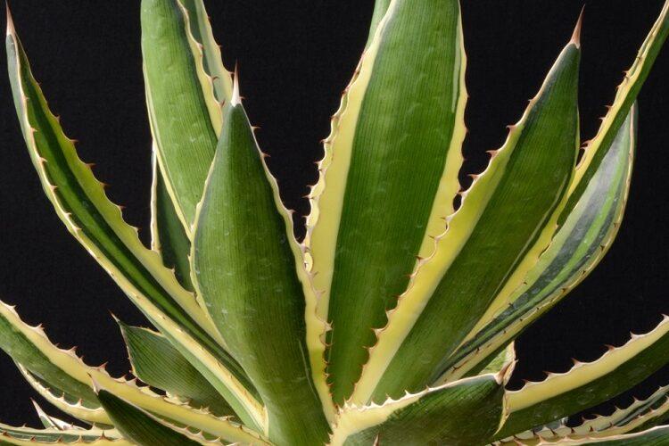 как выглядит агава