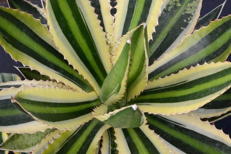 лист агавы