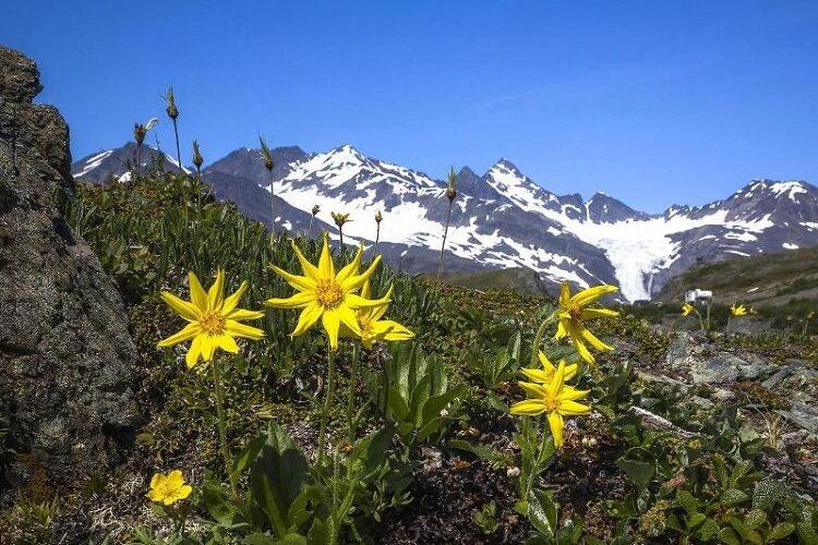 арника в горах