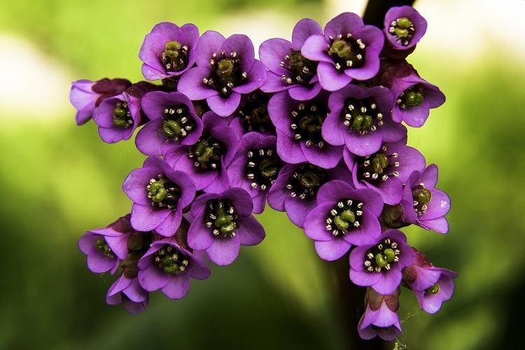 цветок бадана