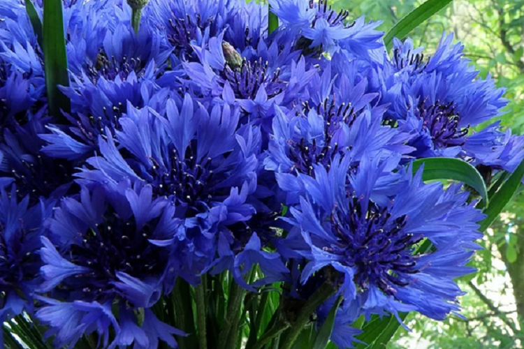 цветущий василек