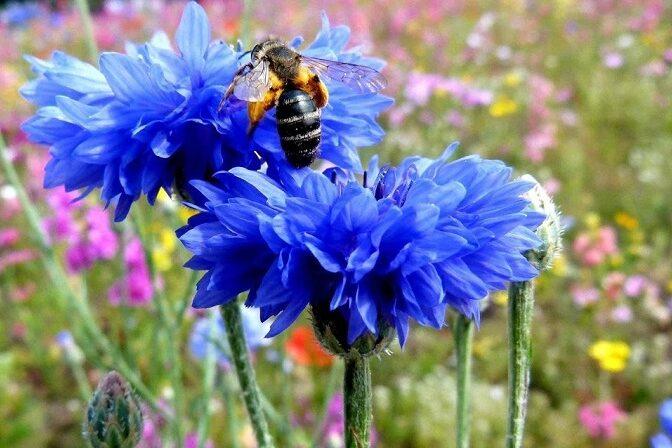 пчелы на васильке