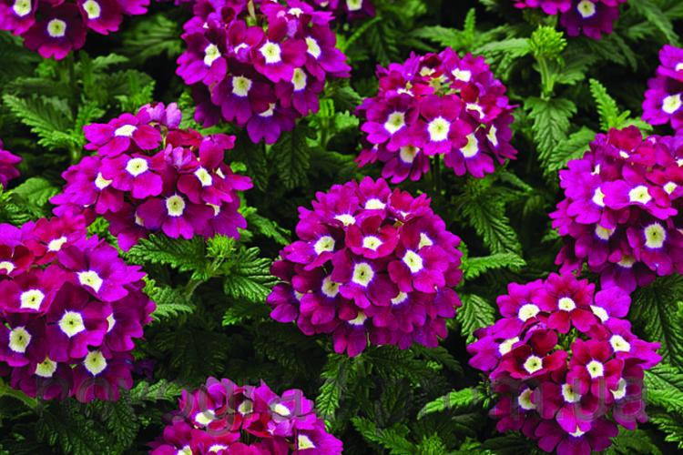 вербена фиолетовая