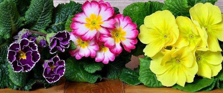как цветет примула