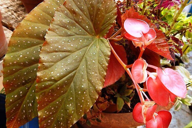 пятнистые листья бегонии