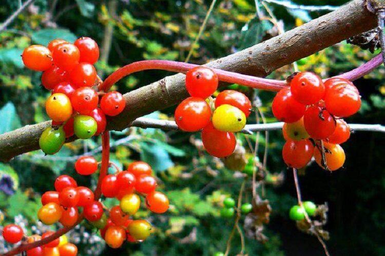 ягоды тамуса