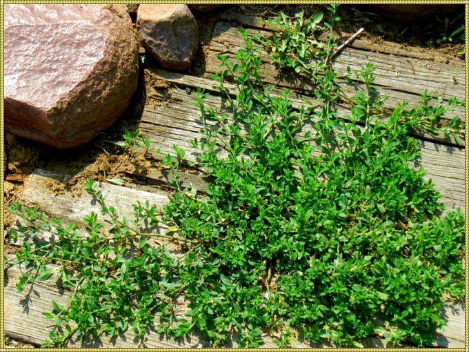 трава спорыша в природе