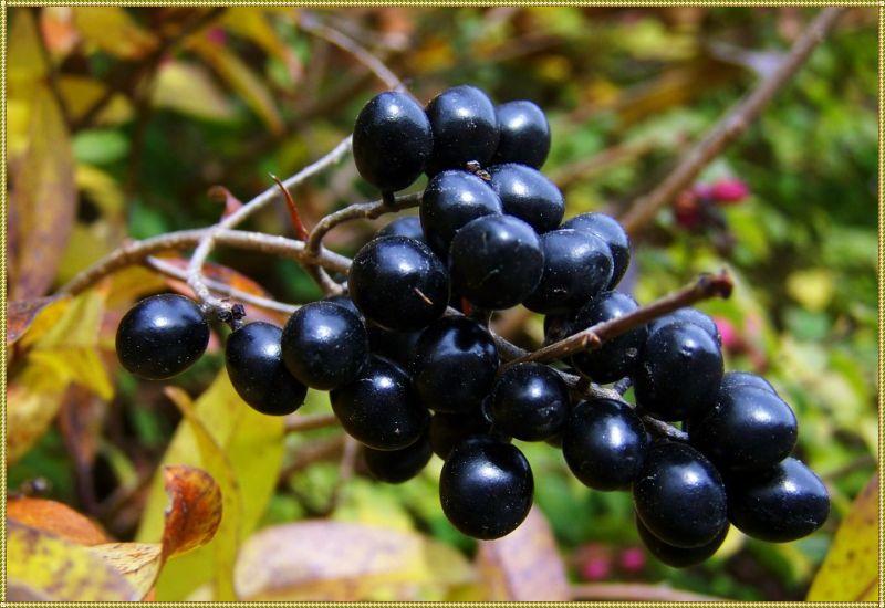 плоды паслена черного