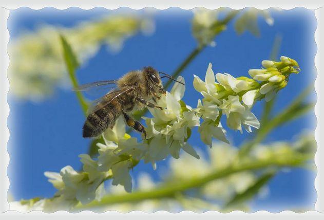 мед белого донника