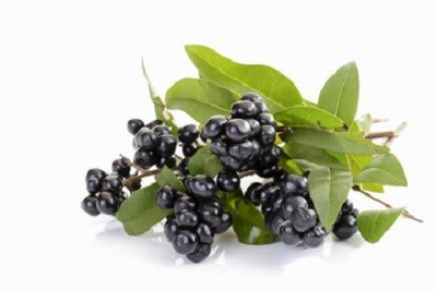 плоды бирючины