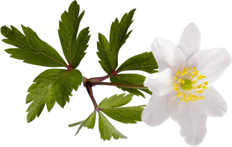 цветок ветреницы дубравной