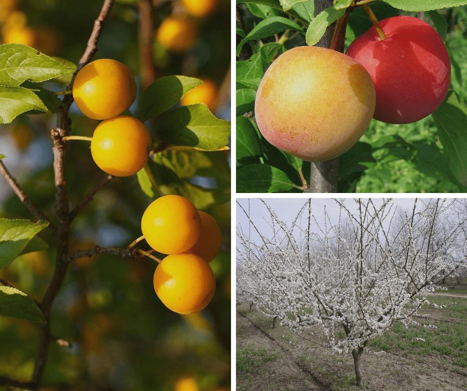 как выглядят плоды алычи