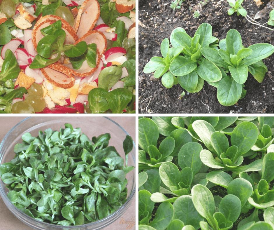 как растет полевой салат