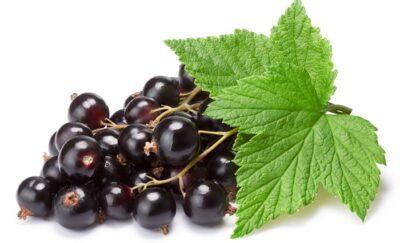 плоды смородины от ангины