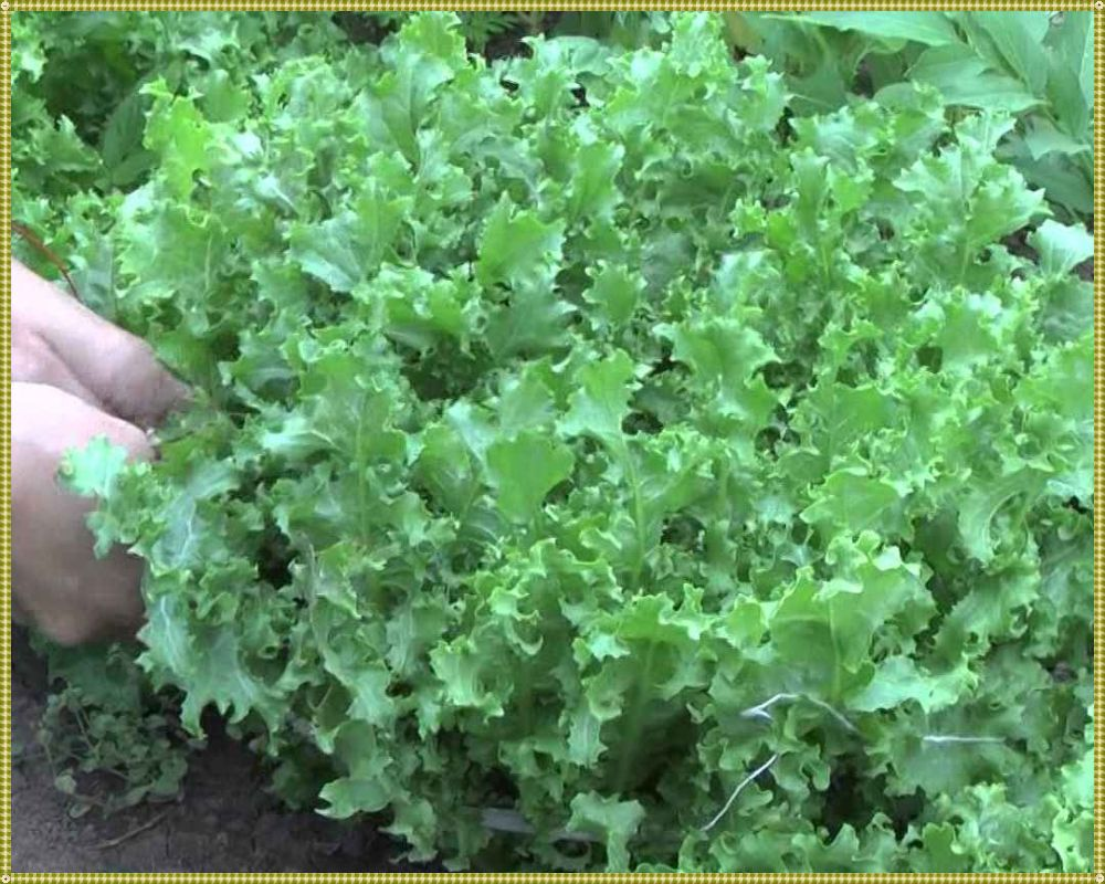 как выглядит салат фризе