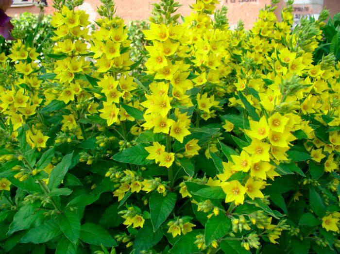 Вербейник фото цветов