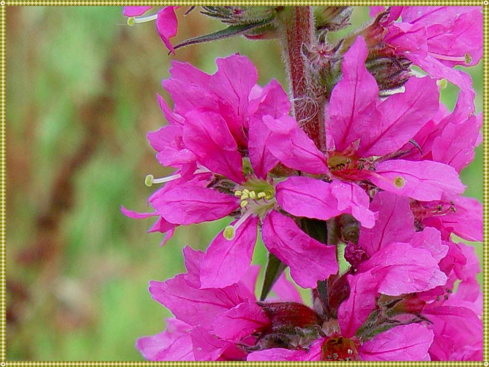 цветок дербенника
