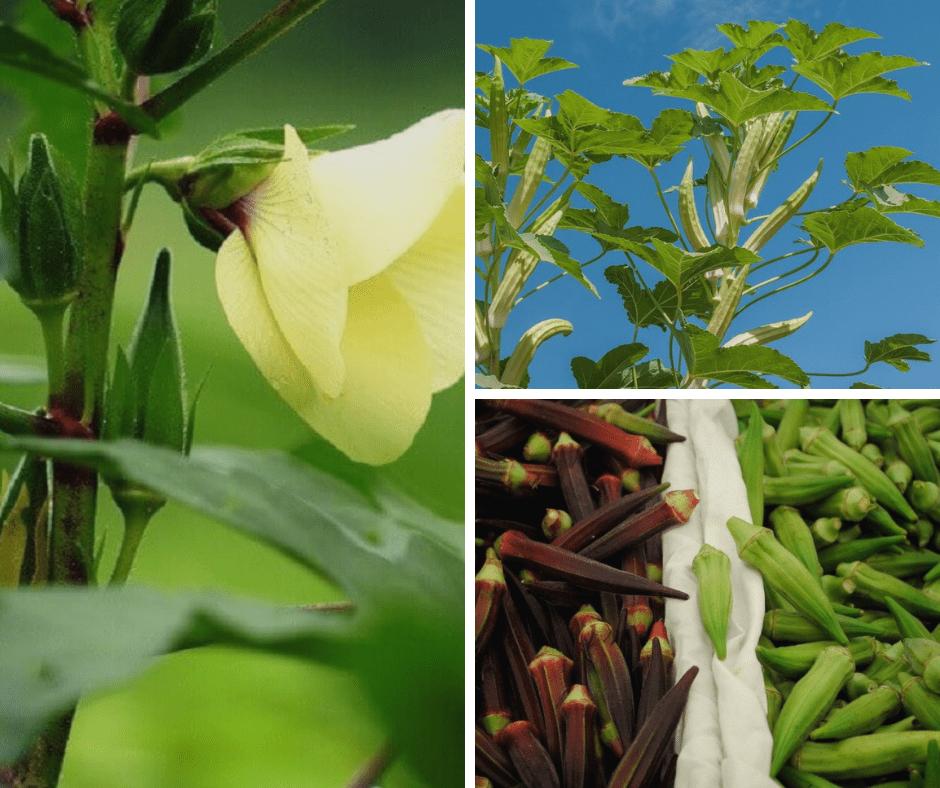 как растет бамия