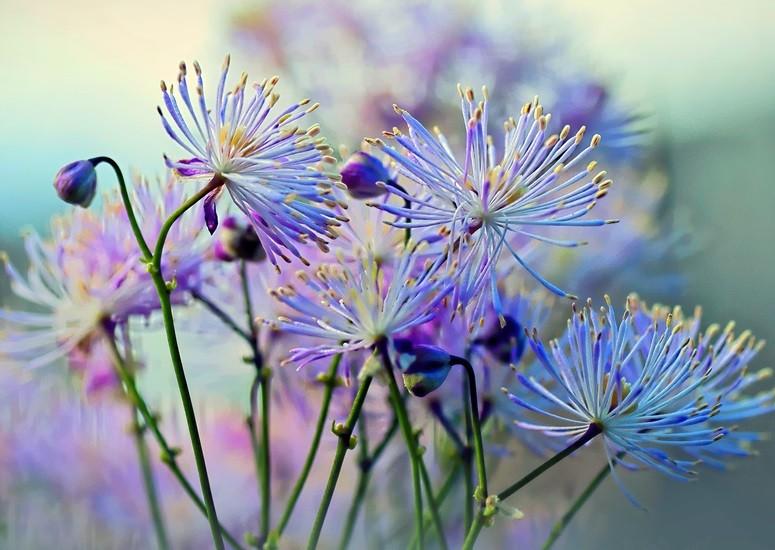 цветущий василистник