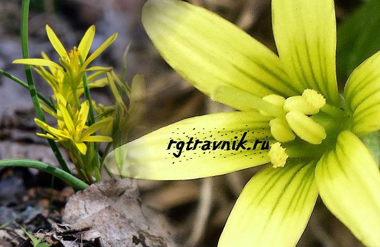 цветок гусиного лука