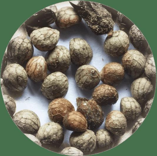 как выглядят семена периллы