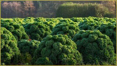 как растет капуста кале