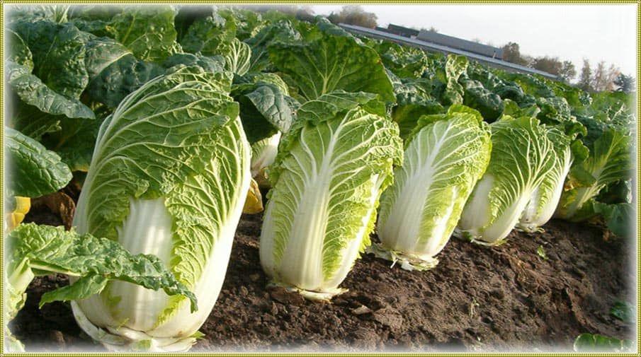 как выращивают китайскую капусту