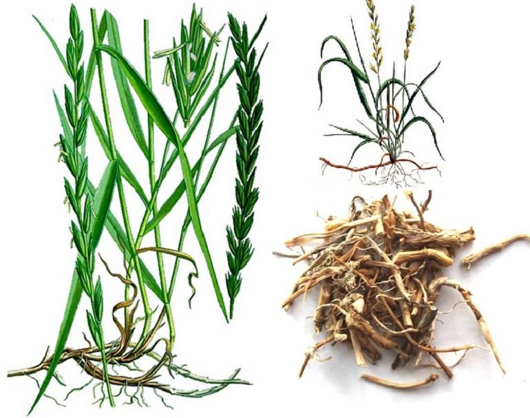 трава и корень пырея