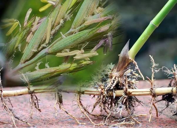 польза корней пырея