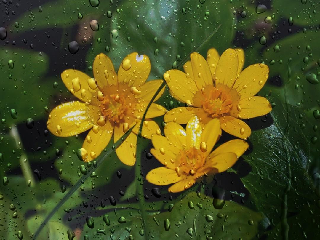 цветущий чистяк