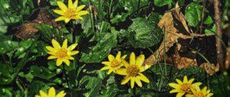 как выглядит цветок чистяка