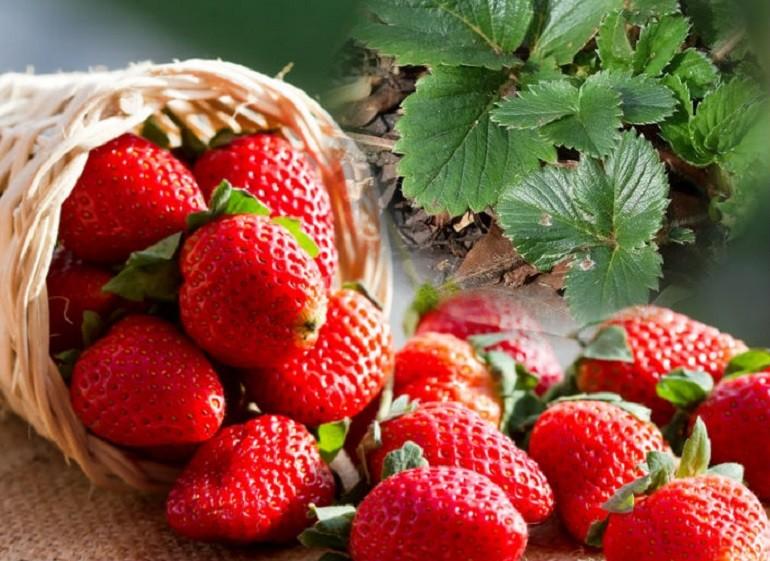 лист и ягоды клубники