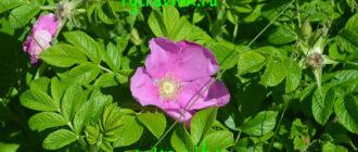 розовые цветки шиповника