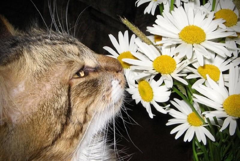 ромашка и кот